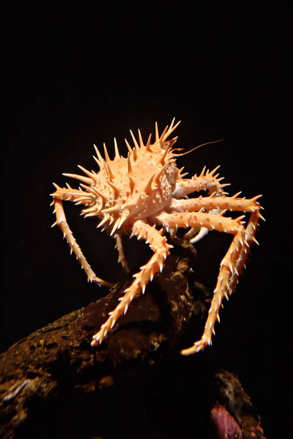 Spiny king crab (Paralithodes californiensis) perched on a rock - © Moondigger