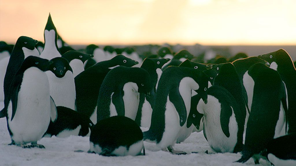 Adélie penguins on Torgersen Island, off Palmer Station, Antarctic Peninsula - © Cara Sucher