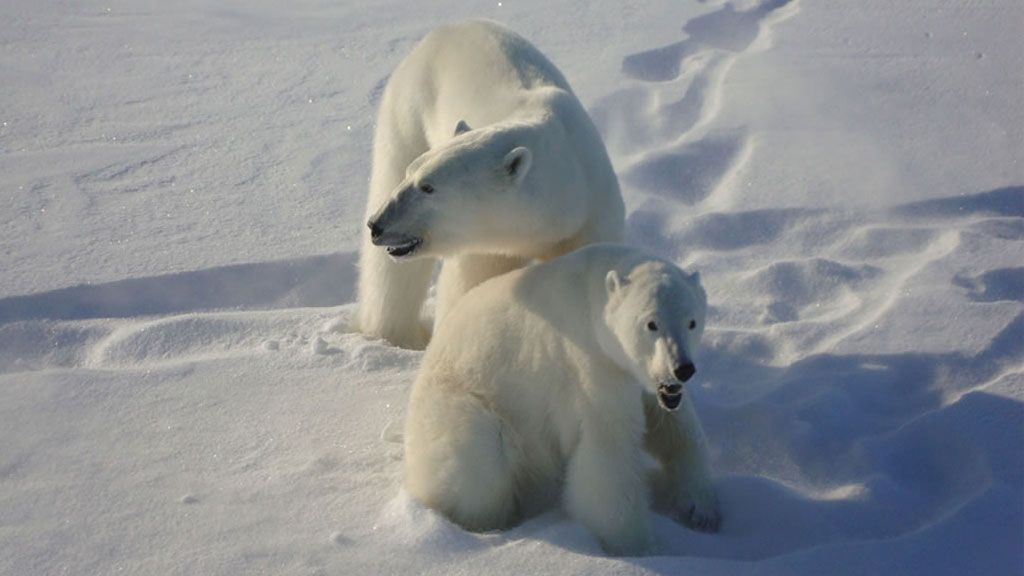 Male and female polar bear in the wild - © GOVERNMENT OF NUNAVUT, M. DYCK